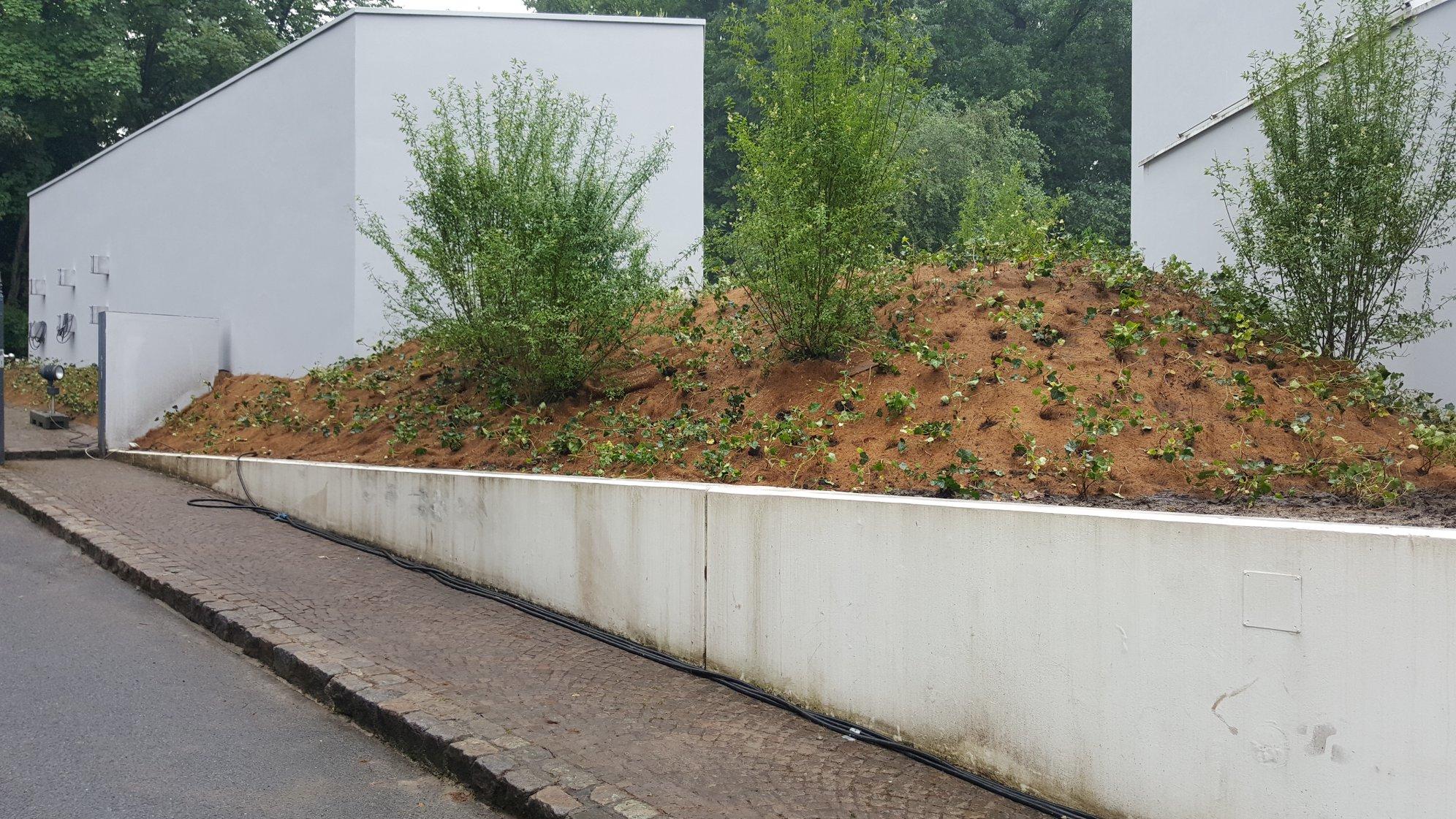 Pflanzungen von efeu